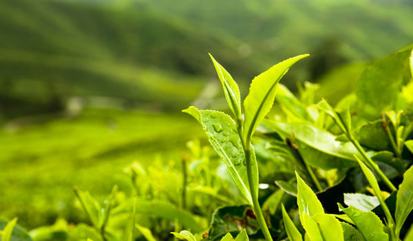 8 WAYS TO USE GREEN TEA IN YOUR BEAUTY ROUTINE
