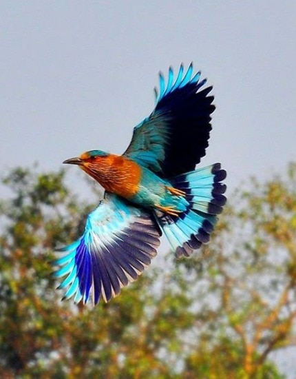 Indian.Roller 430x550
