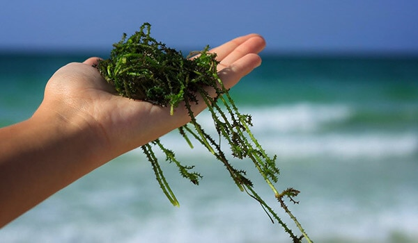 HOW SEAWEED HELPS HAIR GROWTH