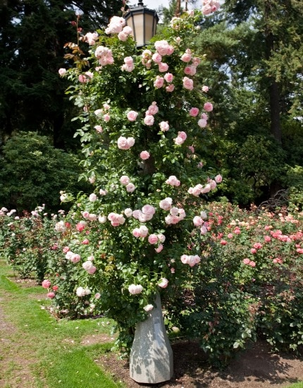 Ringa roses around the world for Portland international rose test garden